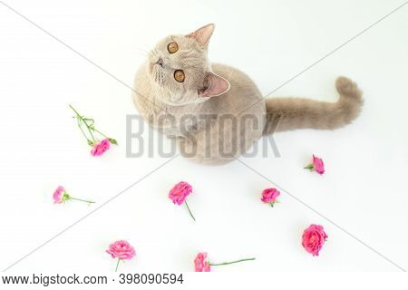 Scottish Young Cat On White. Scottish Cat With Roses Flowers