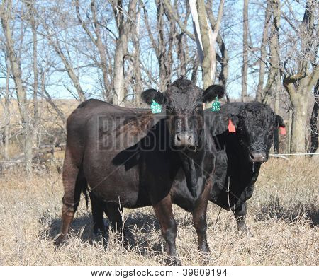 Limousin steer and bull
