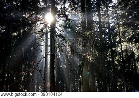 Majestic winter landscape: Frost pines under sunlight at sunset / Winter holiday Christmas Concept /