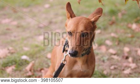 Close Up, Head Of Confused Mixed Breed Dog With Collar. High Quality Photo