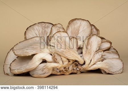 Oyster Mushrooms Are A Type Of Edible Fungi. Fruiting Bodies Of Fungi With Their Fleshy Gills (hymen