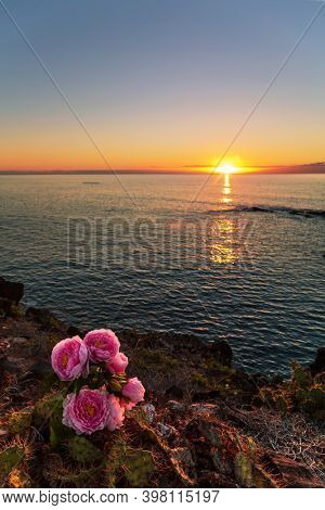 Prickly pear on a mountain slope on sunset background. Tenerife, Spain. Focus on foreground