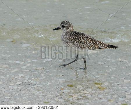 Sand Piper Bird Wading In The Ocean At Sanibel Island In Florida