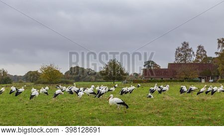 Group Of White Storks Gathered In The Fields In The Netthelands At The End Of The Summer Before Star