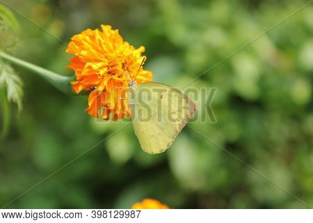 Lemon Emigrant Butterfly Sitting On The Marigold With Blureed Background.