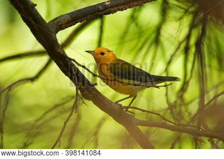 Prothonotary Warbler - Protonotaria Citrea Small Yellow Songbird Of The New World Warbler Family, Th