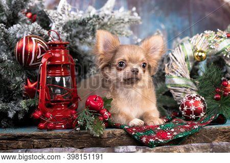 Puppy chihuahua hua - New Year's puppy; Christmas dog