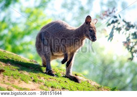 Australian Wallaby Standing On A Small Hill