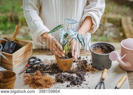 Woman Hands Transplanting Plant Into New Pot Indoor In The Garden, Hobbies And Leisure, Home Gardeni