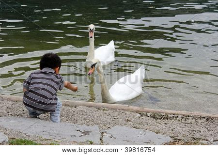 Child Feeding Two Swan