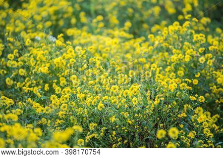 Chrysanthemum Flowers Growth In The Nature. Chrysanthemum Flowers Is The Ingredient For Making Chrys