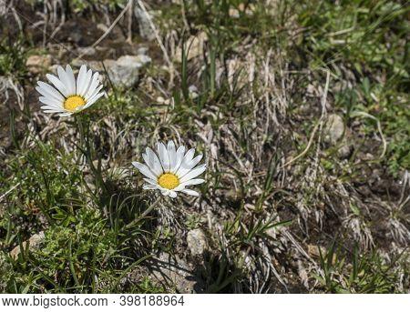 Closeup Of Margherita Alpina, Leucanthemopsis Alpina. Blooming Alpine Daisy With Green Leaves On Alp