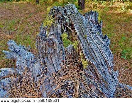 Old And Rotten - A Stump Scene In The Woods In The Metolius Preserve - Near Camp Sherman, Or