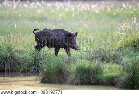 Wild Boar (sus Scrofa Ferus) Walking On Meadow Beside River In Summer Time. Wildlife In Natural Habi