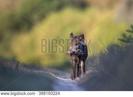 Cute Wild Boar Piglet (sus Scrofa Ferus) Standing Alone On Meadow In Summer Time. Wildlife In Natura
