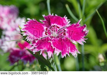 Chinese Carnation (lat. Dianthus Chinensis) In The Garden Close-up