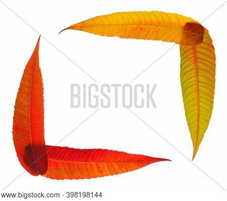 Frame Made Of Translucent And Backlit Multicolour Autumn Leaves, Flat Lay Isolated On White Backgrou