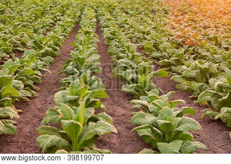 Green Tobacco Leaves In Close-up Blur Tobacco Field Background Big Tobacco Grown In Tobacco Farms In