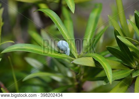 Oleander Podocarp Leaves And Berries - Latin Name - Podocarpus Neriifolius