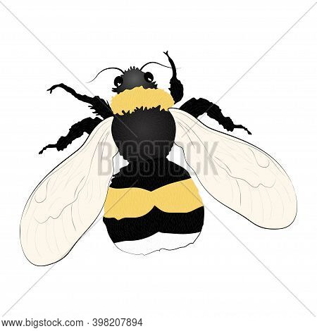 Bumblebee Color Illustration Isolated On White Background. Vector.