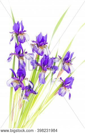 Purple Irises On A White Background. The View From The Top. Holiday Greeting Card For Valentine's Da