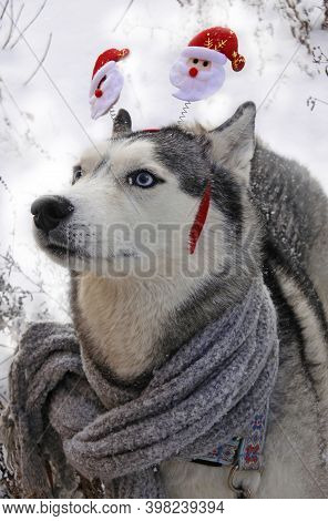 Portrait Of A Husky Dog With A Hoop - Ears - Santa Claus And A Scarf In Winter