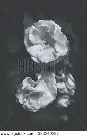 Floribunda Oleander Flowers, Postcard Or Cover. Pink Oleander Flowers And Burgundy Buds