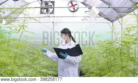 Concept Of Cannabis Plantation For Medical, A Scientist Is Collecting Data On Cannabis Sativa Indoor