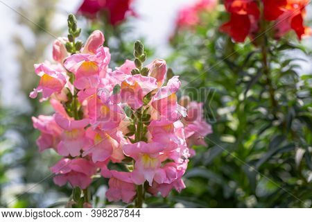 Snapdragon Flower, Colorful Flower, Flower In Garden, Flower At Spring Day, Flower For Decoration, B