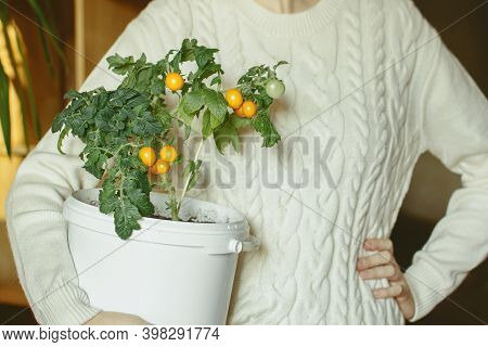 Young Woman Holding Small Bush Of Balcony Cherry Tomatos In Pot. Home, City, Balcony Vegetables Gard