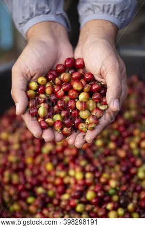 Hand Holding Raw Coffee Beans On Red Coffee Beans Background.