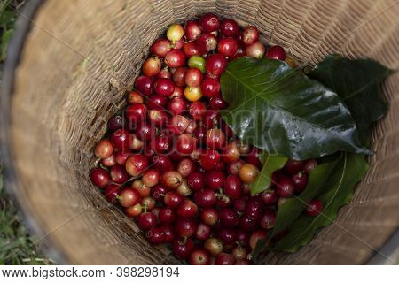 Coffee Farmer Picking Ripe Cherry Beans, Fresh Coffee Bean In Basket, Close Up Of Red Berries Coffee
