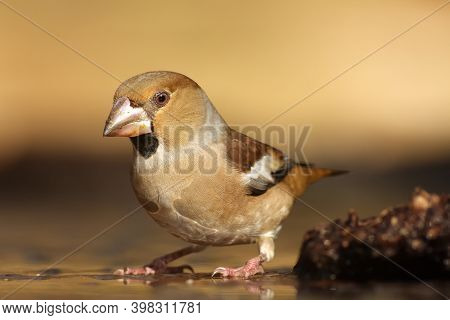 The Hawfinch (coccothraustes Coccothraustes) At The Waterhole. Songbird With A Huge Beak In The Fore