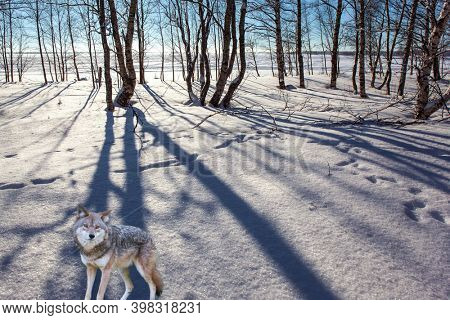 Gorgeous Timber Wolf. Aspen and birch trees are covered with frost. The northern winter sun is low on the horizon. Extreme north in winter.