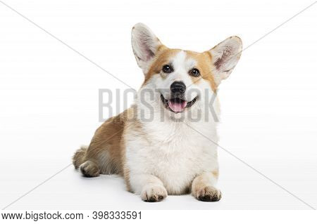 Dog Welsh Corgi Pembroke On A White Background With An Open Mouth. Red-haired Pet In The Studio.