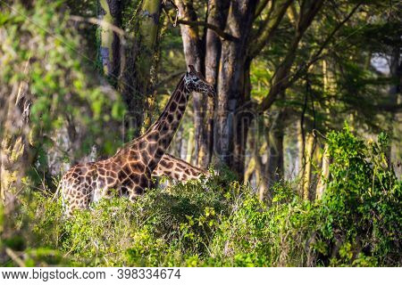 The giraffe is the tallest living mammal. Thr giraffe grazes among the thickets of desert acacia. Kenia. African savannah on the shores of Lake Nakuru