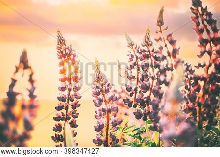 Bush Of Wild Flowers Lupine In Summer Field Meadow At Sunset Sunrise. Lupinus, Commonly Known As Lup