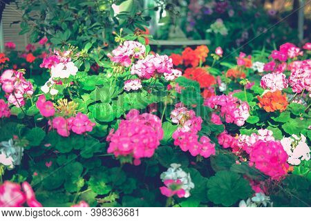Blooming Geranium Flower Plant In Garden Park