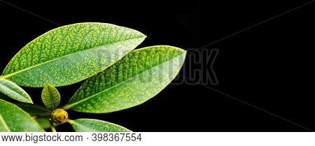 Changes In The Color Of The Leaf, Autumn Time. Rhododendron Green Yellow Leaves Texture Pattern. Mac