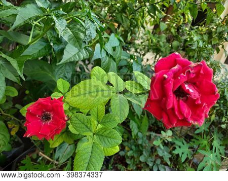 Roses That As Usual We Can See From The Flowers Themselves. This Rose Has A Crown Which Has Five Str