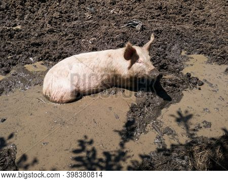 Muddy Bath As Animal Welfare Issue, One Domestic Pig With Dirty Snout Resting In Bilge, Mud And Murk