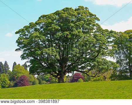 Large Beautiful Sycamore Tree With Green Summer Foliage In Parkland In North Yorkshire, England, On