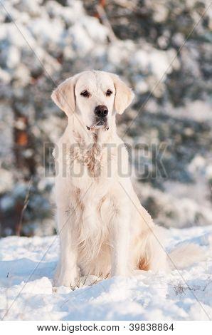beautiful golden retriever dog winter portrait