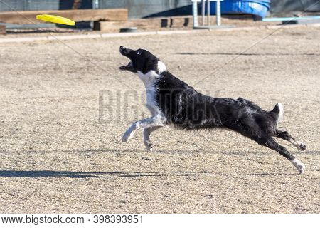 Border Collie About To Catch A Yellow Disc During An Event Of Toss And Fetch