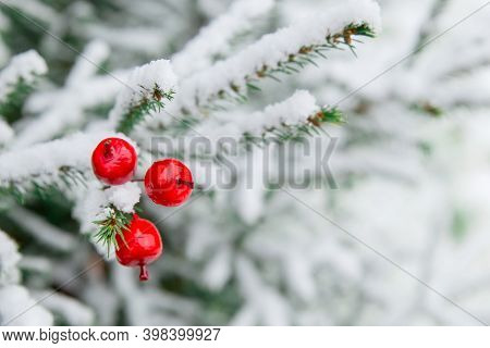 Christmas Decoration Red Large Winter Berries On A Snow-covered Branch. Christmas Tree Toy On The Br