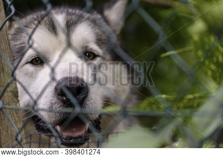 Siberian Husky Dog In A Fence Of A House.