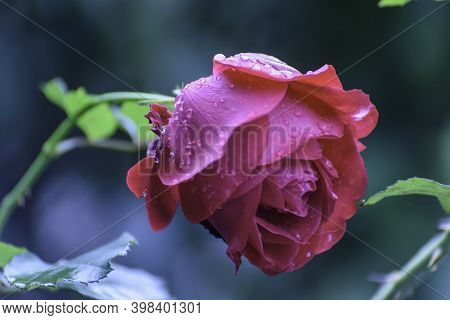 Close Up Photo Of Rose Bud. Close Up Photo Of Red Flower With Raindrops.