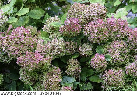 Flower Bush In The Garden. Hydrangea Plant.