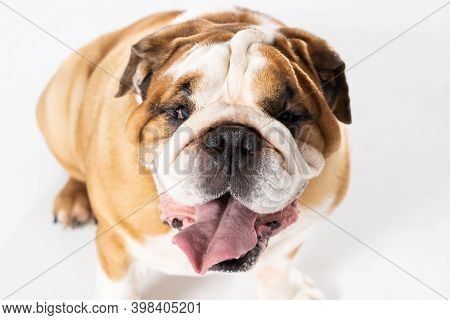Open Mouth. The English Bulldog Was Bred As A Companion And Deterrent Dog. A Breed With A Brown Coat