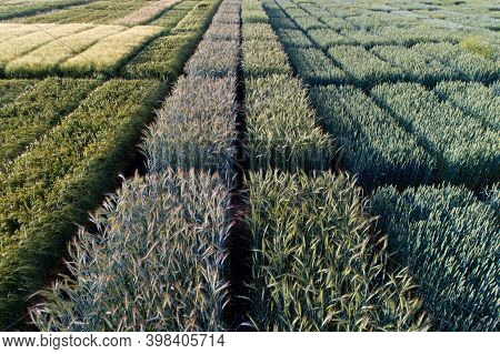 Aerial Image Of Agricultural Test Plots With Different Sorts Of Cereal Crops, Hybrids, Shoot From Dr
